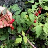 Wild raspberry, Rubus idaeus