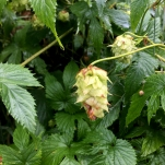 Wild hops, Humulus lupulus